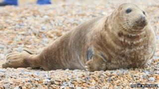 Grey seal on Seaford beach