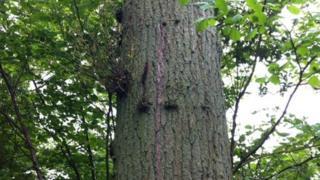 Oak tree infected with acute oak decline disease