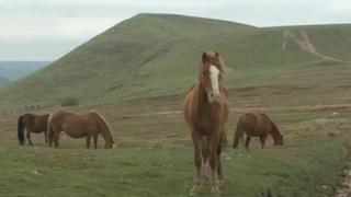Abandoned horses on Manmoel Common