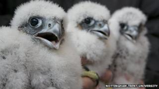 Three peregrine chicks in Nottingham