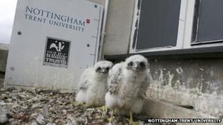 Two peregrine chicks in Nottingham