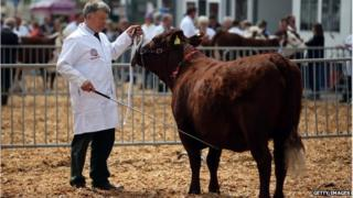 Cattle at Bath and West Show, May 2013