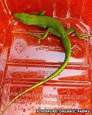 Lizard found in Devon