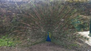 Kevin the peacock
