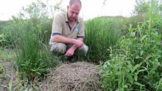 Mark Roberts, aviculture manager here at Slimbridge, inspects the crane nest.