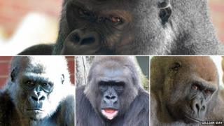 Twycross Zoo gorillas