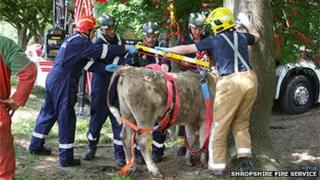 Firefighters rescuing the calf