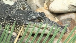 A crocodile in the new enclosure
