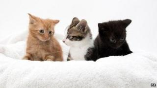 Three kittens with extra toes
