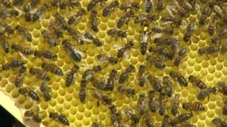 Cornish Black honey bee