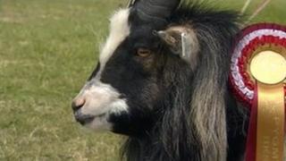 Prize pygmy goat