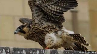 Norwich Cathedral peregrine falcon
