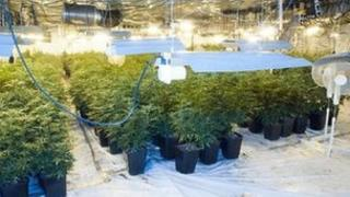 Cannabis plants found in Stoke Road, Hoo