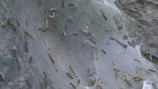 Damage to tree caused by ermine moths