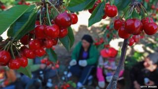 Druze cherry-pickers in the Golan Heights