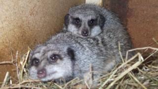 Iggy and Ziggy the meerkats