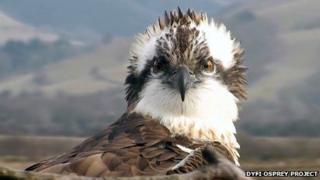 Monty the osprey