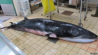 The dead minke whale at a post-mortem suite