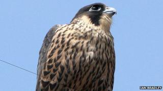 The first of four peregrines to fledge the nest