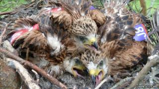 Red kite chicks