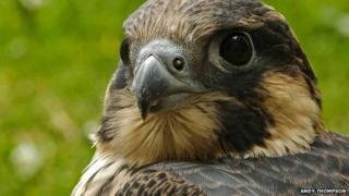 Norwich Cathedral peregrine falcon T4