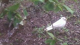 Albino jackdaw at Aberglasney Gardens