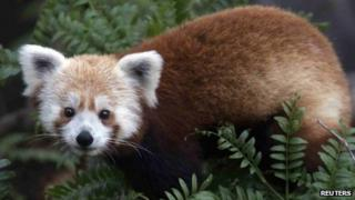 Undated picture of Rusty, the missing red panda from Smithsonian National Zoo in Washington DC