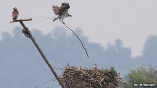 An adult osprey drops a 6ft long stick on the nest