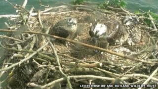 Three of the chicks in the nest in Manton Bay