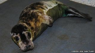 TB-infected seal. Pic: Cornish Seal Sanctuary