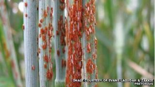 Varying stem rust epidemics on wheat stems