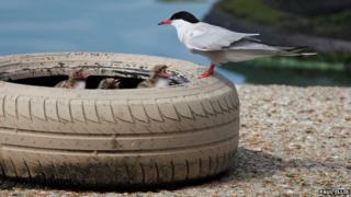 Common tern nest in a tyre at Preston Marina