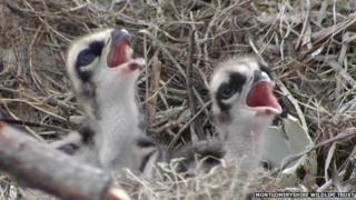 The osprey chicks