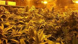 Seized cannabis plants in New Welling Street house