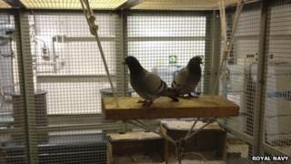 Pigeons on HMS Diamond. Pic: Royal Navy