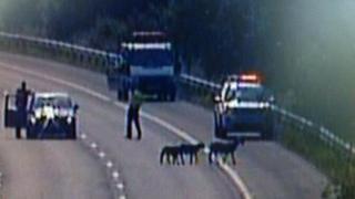Sheep on M4 near Bridgend on Friday