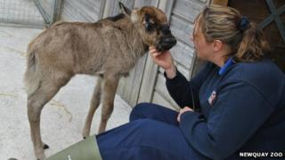 Poppy the wildebeest calf and a member of staff at Newquay Zoo