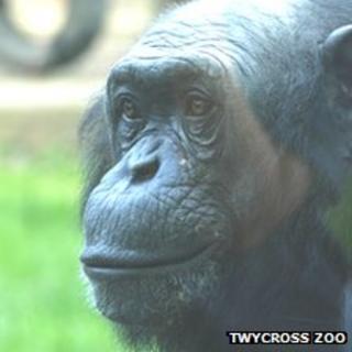 PG Tips chimp Louis