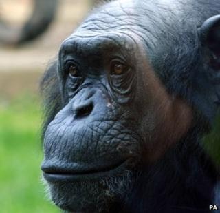 Louis the chimp