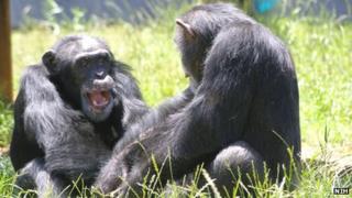 Chimpanzees at Chimp Haven, Louisiana file picture
