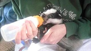 Badger cub being bottle fed by staff at Oak and Furrows Wildlife Rescue Centre