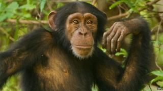 Young chimpanzee male, Pan troglodytes verus