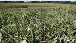 A field of GM corn