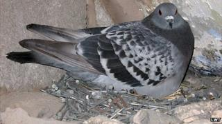 Feral rock pigeon on nest of nails