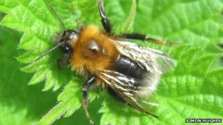 Tree Bumblebee picture taken by Simon Hughes