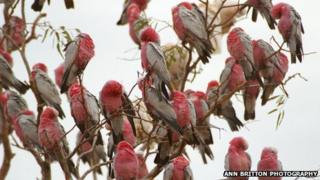Galahs perched on a tree in Boulia