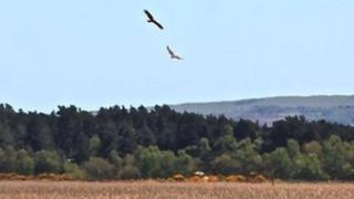 Marsh harriers at Poole Harbour