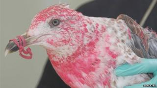 Pink gull Blush