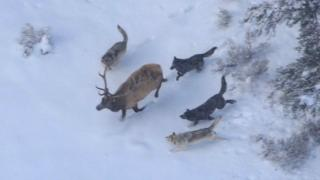 Wolves chase down elk
