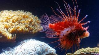 A red lionfish swims in an aquarium